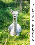 a white alpaca on a natural... | Shutterstock . vector #1142119187