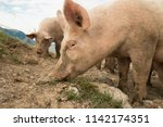 happy and dirty pigs on a open... | Shutterstock . vector #1142174351