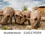 happy and dirty pigs on a open... | Shutterstock . vector #1142174354