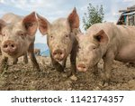 happy and dirty pigs on a open... | Shutterstock . vector #1142174357