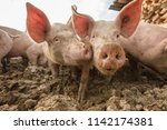 happy and dirty pigs on a open... | Shutterstock . vector #1142174381