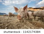 happy and dirty pigs on a open... | Shutterstock . vector #1142174384