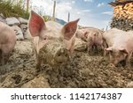happy and dirty pigs on a open... | Shutterstock . vector #1142174387