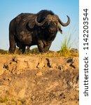 buffalo in chobe natural park... | Shutterstock . vector #1142203544