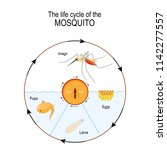 life cycle of the mosquito ... | Shutterstock .eps vector #1142277557