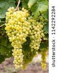 white grapes vineyard. turkey...   Shutterstock . vector #1142292284