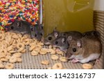 two large brown house mice  mus ... | Shutterstock . vector #1142316737