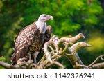 natural closeup of a ruppell's... | Shutterstock . vector #1142326241