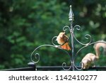 female northern cardinal... | Shutterstock . vector #1142410277