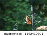 female northern cardinal... | Shutterstock . vector #1142410301