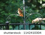 female northern cardinal... | Shutterstock . vector #1142410304