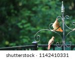 female northern cardinal... | Shutterstock . vector #1142410331