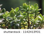 green succulent potted plants... | Shutterstock . vector #1142413931
