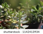 green succulent potted plants... | Shutterstock . vector #1142413934