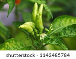 close up of green chillies in... | Shutterstock . vector #1142485784