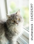Maine Coon Cat Sitting By Window