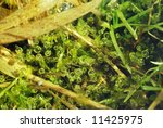 Small photo of Macro of aglae in the pond with bubbles of air
