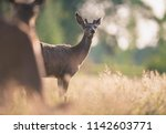 young red deer buck with...   Shutterstock . vector #1142603771