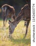 grazing red deer hind in meadow ...   Shutterstock . vector #1142603774