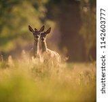 two young red deer between tall ...   Shutterstock . vector #1142603777