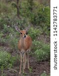 small steenbok antelope looking ... | Shutterstock . vector #1142783771