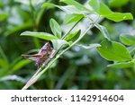 Hidden In Clover  A Grasshoppe...