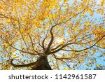 maple leaves tree natural... | Shutterstock . vector #1142961587