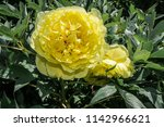 itoh hybrid peony yellow crown  ... | Shutterstock . vector #1142966621