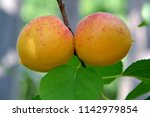 ripe juicy apricots on a branch ... | Shutterstock . vector #1142979854