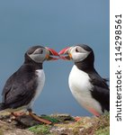 two funny puffins with love and ... | Shutterstock . vector #114298561