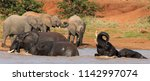 african elephants playing in... | Shutterstock . vector #1142997074