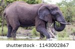 african elephant drinking ... | Shutterstock . vector #1143002867