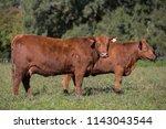 Angus Cattle Farming