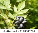 Small photo of Actaea spicata (Eurasian baneberry or herb Christopher) is a species of flowering plant in the genus Actaea. The plant is poisonous, especially berries. Used in homeopathy and as a magnificent plant.