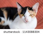 portrait of tricolor cat... | Shutterstock . vector #1143088304