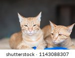 two ginger cat sitting together ... | Shutterstock . vector #1143088307