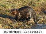 a north american beaver  castor ... | Shutterstock . vector #1143146534
