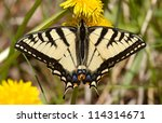Canadian Tiger Swallowtail ...