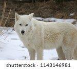 an arctic wolf  canis lupus... | Shutterstock . vector #1143146981