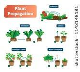 plant propagation vector... | Shutterstock .eps vector #1143148181