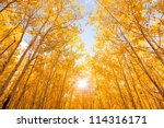 Brightly Colored Aspen Trees In ...