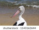 Small photo of Close Up of Yellow-Eyed Pelican with Colorful Beak shut tight and looking Scandalised at being the Centre of Attention