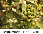 group of macadamia nuts hanging ... | Shutterstock . vector #1143179381
