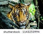 animals wildlife photography  | Shutterstock . vector #1143253994