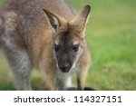 wallaby | Shutterstock . vector #114327151