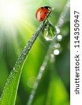 Fresh Morning Dew And Ladybird