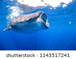 whale sharks swimming in blue... | Shutterstock . vector #1143517241