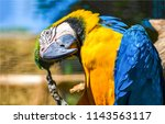 Ara ararauna. blue yellow macaw ...