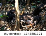Mother Chimpanzee And Its Baby...