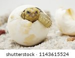 Stock photo close up baby tortoise hatching african spurred tortoise birth of new life cute baby animal 1143615524